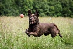 Funcionamiento y el jugar del perro Imagenes de archivo