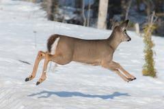 Funcionamiento y salto del cervatillo de los ciervos de la cola blanca Foto de archivo libre de regalías