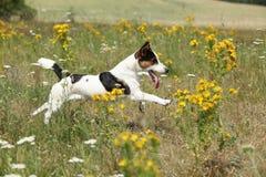 Funcionamiento y salto del terrier de Jack Russell que sorprenden Imagen de archivo libre de regalías
