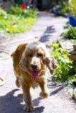 Funcionamientos alegres del perro a una reunión fotos de archivo libres de regalías