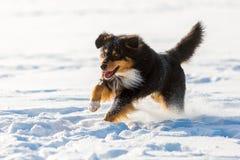 Funcionamientos australianos del perro de pastor en la nieve Foto de archivo libre de regalías