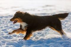 Funcionamientos australianos del perro de pastor en la nieve Fotos de archivo