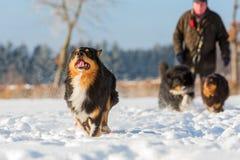 Funcionamientos australianos del perro de pastor en la nieve Foto de archivo