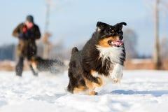 Funcionamientos australianos del perro de pastor en la nieve Imagen de archivo