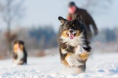 Funcionamientos australianos del perro de pastor en la nieve Imágenes de archivo libres de regalías