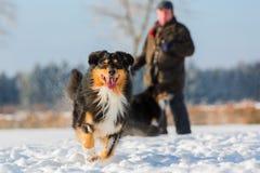 Funcionamientos australianos del perro de pastor en la nieve Fotografía de archivo