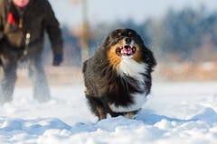 Funcionamientos australianos del perro de pastor en la nieve Imagen de archivo libre de regalías