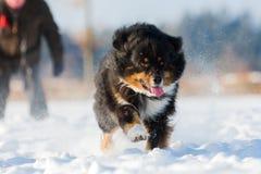 Funcionamientos australianos del perro de pastor en la nieve Fotografía de archivo libre de regalías
