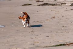 Funcionamientos de Basset Hound en la playa Foto de archivo