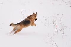 Funcionamientos de Dog del pastor alemán para el juguete Fotos de archivo libres de regalías