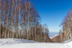 Funcionamientos de esquí a través de una arboleda del abedul Imagen de archivo