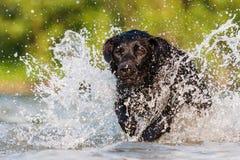 Funcionamientos de Labrador a través del agua Fotos de archivo