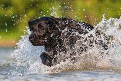 Funcionamientos de Labrador a través del agua Imagen de archivo libre de regalías