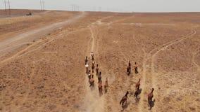 Funcionamientos de los caballos salvajes a través de la estepa seca de Kazajistán metrajes