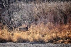 Funcionamientos de una gama de los ciervos mula para la cubierta en el parque de estado del pueblo del lago, Colorado fotos de archivo libres de regalías