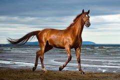 Funcionamientos del caballo en la costa Foto de archivo