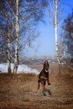 Funcionamientos del Doberman de la raza del perro de Brown Fotos de archivo libres de regalías