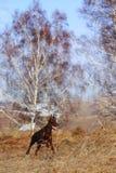 Funcionamientos del Doberman de la raza del perro de Brown Imagenes de archivo