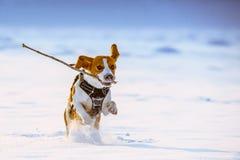 Funcionamientos del perro del beagle con un palillo Imagenes de archivo