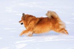 Funcionamientos del perro de Elo en la nieve Imagen de archivo