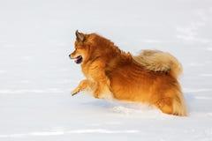 Funcionamientos del perro de Elo en la nieve Imágenes de archivo libres de regalías