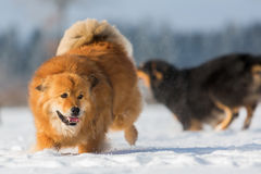 Funcionamientos del perro de Elo en la nieve Imagenes de archivo