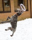 Funcionamientos del perro de los saltos en la nieve Fotos de archivo