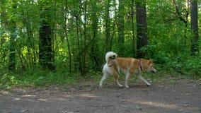 Funcionamientos del perro de Shiba en el bosque almacen de video