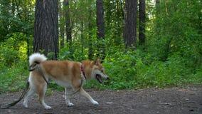 Funcionamientos del perro de Shiba en el bosque almacen de metraje de vídeo
