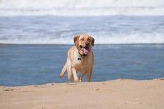 Funcionamientos del perro en la playa Imagenes de archivo
