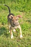 Funcionamientos del perro en una hierba verde Imagen de archivo libre de regalías