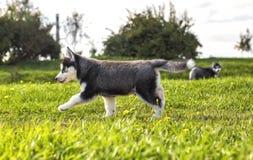 Funcionamientos del perro esquimal del perrito a través de la hierba Fotografía de archivo