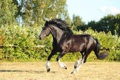 Funcionamientos del semental del caballo de Vanner del gitano Fotografía de archivo libre de regalías