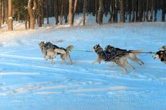 Funcionamientos del trineo del husky siberiano Foto de archivo libre de regalías