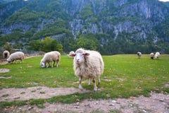 Funcionamientos divertidos de las ovejas delante de la manada imágenes de archivo libres de regalías