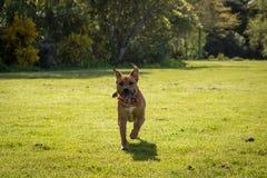 Funcionamientos felices del perro hacia los oídos principales que se tiran hacia arriba y hacia abajo foto de archivo libre de regalías