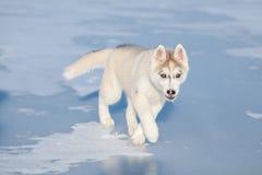 Funcionamientos fornidos del perrito en la nieve Foto de archivo