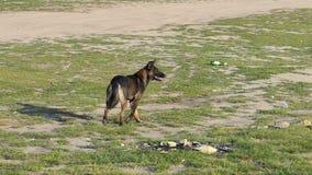 Funcionamientos mestizos solos y paradas de un perro cerca de una playa del lago, mirando adelante en el Slo-MES almacen de video