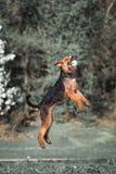 Funcionamientos y saltos de Airedale imagen de archivo libre de regalías
