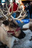 Funcionando con los renos - cara animal de las astas de Anchorage Alaska Foto de archivo libre de regalías
