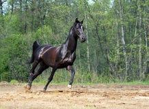 Funcionar con el caballo negro Imagen de archivo libre de regalías