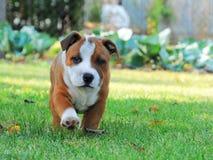 Funcionar con un perrito en el jardín Foto de archivo