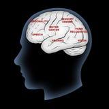 Funciones del cerebro Foto de archivo libre de regalías