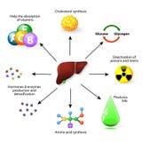 Funciones hepáticas ilustración del vector