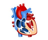 Function and definition human heart tridimensional Royalty Free Stock Images