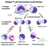 Function of T helper cells. Immune system basics: Function of T helper cells, eps8 Stock Photo