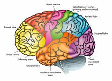 Functional diagram of human brain. A colorful illustration of a human brain with different functional areas highlighted with different colors Stock Images