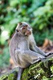 Fundersam apa i den Ubud skogen, Bali royaltyfri fotografi