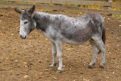 fundersam burro Arkivfoton