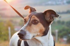 Fundersam hund i slutet av dagen Royaltyfri Foto
